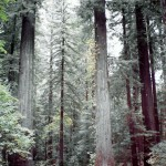 """Old"" redwoods!"